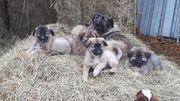 Kaukasen Welpen suchen tolles zuhause