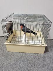Dompfaff vögel