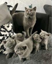 Atemberaubende britische Kurzhaar-Kätzchen