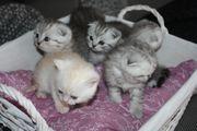 BKH - Kitten