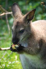 Känguru Bennett Wallaby männlich 280 -