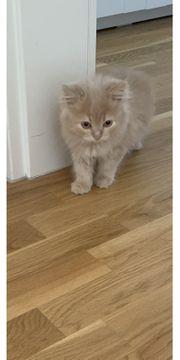 Britisch Langhaar Kitten