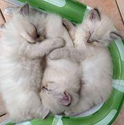 Ragdolls Kitten reinrassig