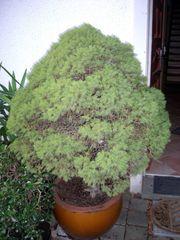 Pflanze Zwerg Nadelbaum Mini Nadelbäumchen