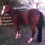 Schicker 12-jähriger Ponywallach Stm 130cm