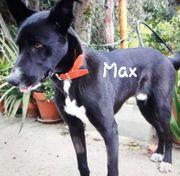 Max Schäferhund Mischling 06-2019