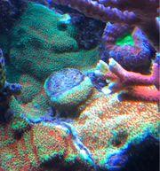 Montipora Sunset Reverse Grinch Korallen