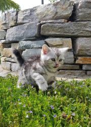 BKH Kitten mit Papire