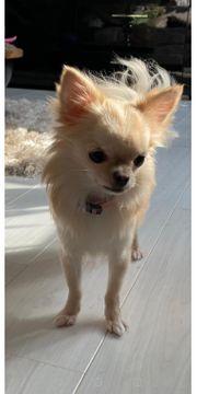 Traumhündin Chihuahua