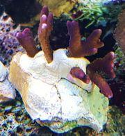 Meerwasseraquaristik - Montipora braun-lila