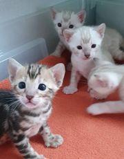 Bengal Kitten marbled marmoriert snow