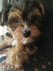 Yorkshire Terrier Welpe weiblich 4
