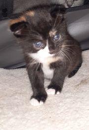 2 Scottish fold mix Kitten