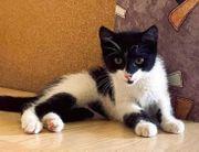 Sehr verschmuste Kitcat 4 Monate