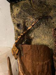 Kronengecko männlich Wildfarben 07 19