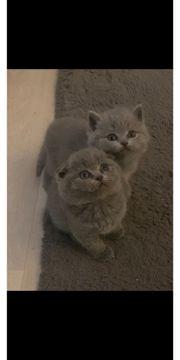 bkh Kätzchen dürfen bald ausziehen