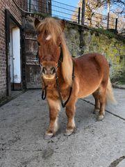 Ponys suchen pflege und reitbeteiligung