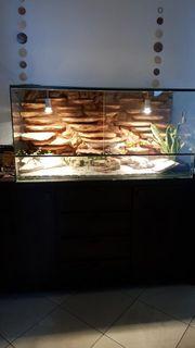 3 Leopard geckos Terrarium