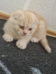 Britisch Kurzhaar kitten mix