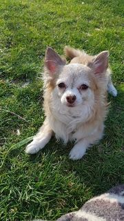 Chihuahua Deckrüde kein Geld nur
