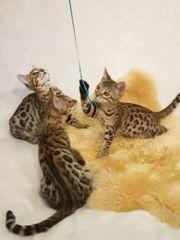 4 Bengal Katzenbabys sind Abgabebereit