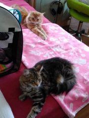 6 Main Coon Kitten