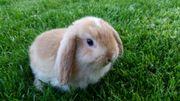 Zwergkaninchen Zwergwidder Kaninchen mehrfarbig zutraulich