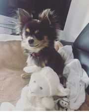 Suchen Chihuahua Hündin bis 3