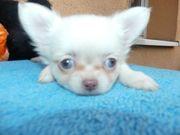 wunderschöne Chihuahua