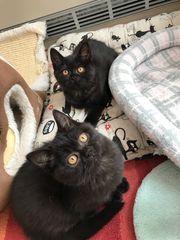 Wunderschöne Perser BKH Kitten in