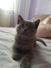 Süße BKH Kitten zu verkaufen