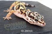 Leopardgeckos Zorro Designer Wildfarben