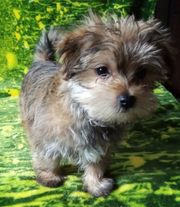 Mini Golddust Yorkshire Terrier