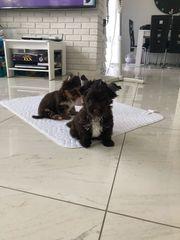 dark Schoko Yorkshire Terrier