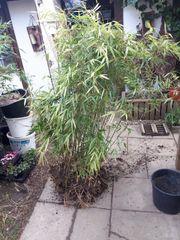 bambus pflanzen Fargesia