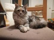 zwei charakterstarke Maine Coon Kitten