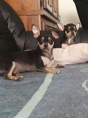 2 süße Chihuahua Welpen suche