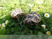 Griechische Landschildkröten aus 2018 abzugeben