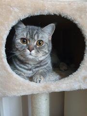 BKH Katze freigängerin 1 Jahr