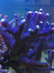 Korallen lila Stylophora Milka lila