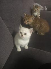 BKH Babykatze Katzenbaby zu verkaufen
