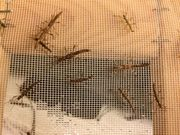 Kleine Dornschrecken Areaton asperrimus