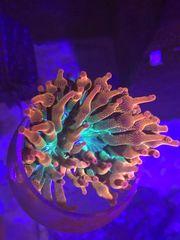 Koralle Anemone Entacmaea Quadricolor Sunburst