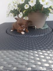Mini Pomchi Chihuahua