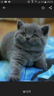 Suche kitten BKH Mädchen