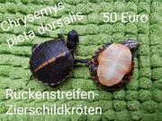 Rückenstreifen-Zierschildkröten