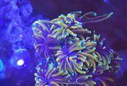 Suche Euphyllia und Hawaii Tepichanemonen