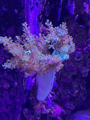 Meerwasser Korallen Ableger Keniabäumchen