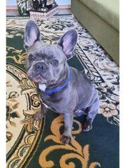 Französische Bulldogge blau Deckrüde