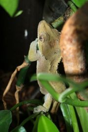 Kronengecko Weibchen Correlophus ciliatus